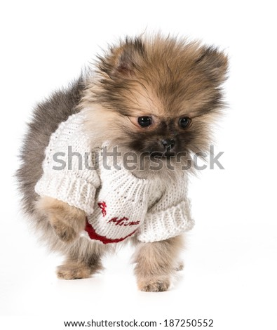 puppy wearing be mine swerater - pomeranian 3 months old