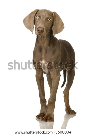 puppy Weimaraner standing up in front of white background - stock photo