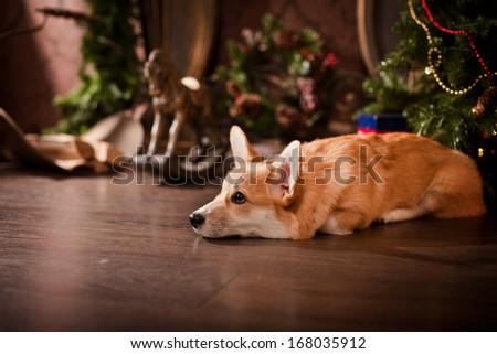 Puppy, Welsh Corgi, christmas - stock photo