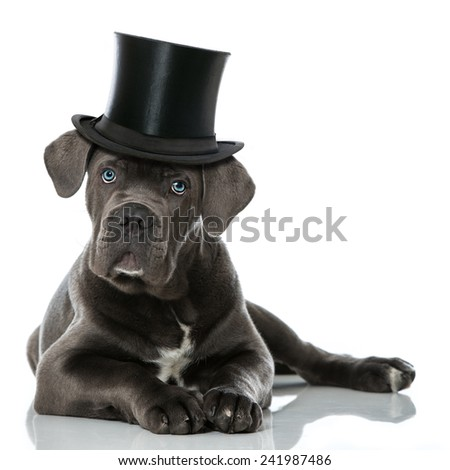 Puppy with cylinderhat