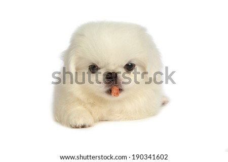 puppy with treat in mouth isolated over white background - stock photo