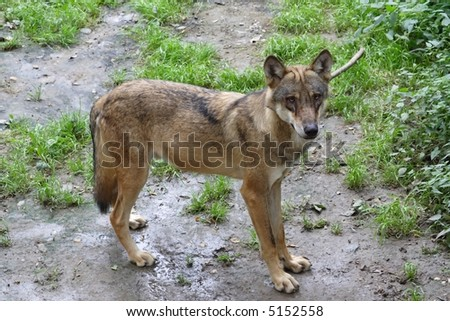 Puppy Wolf standing and  observing vicinity - stock photo