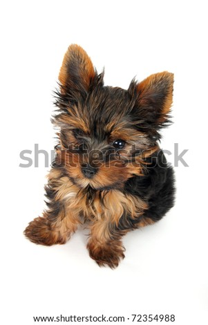 puppy Yorkshire Terrier in front on white background