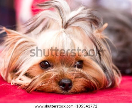 Puppy yorkshire terrier on the red background - stock photo
