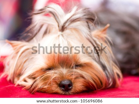 Puppy Yorkshire terrier on the red background