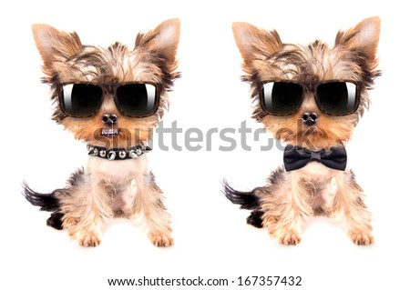 Puppy yorkshire terrier  set on the white background - stock photo