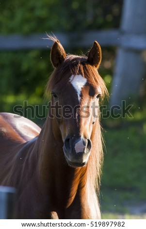 Pure bred Canadian horse in spring