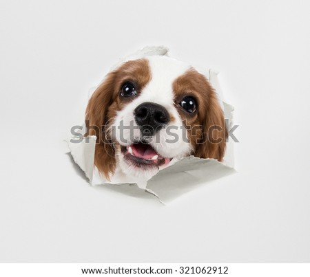 pure-bred dog, puppy Cavalier King Charles Spaniel, look through torn paper - stock photo
