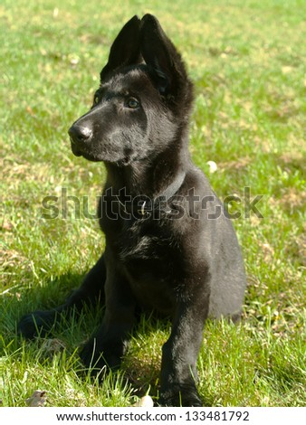 pure bred german shepard puppy with ears pointing