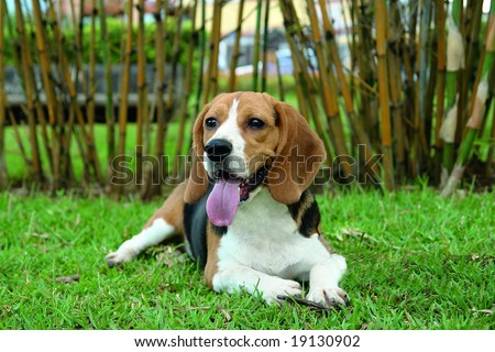 Pure breed beagle laying in the grass