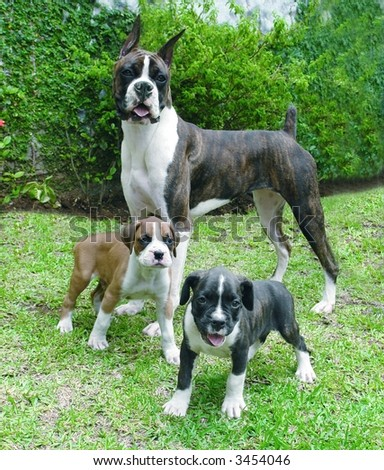 Pure breed boxer with two boxer puppies - stock photo