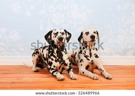 Pure breed Dalmatian dogs together laying at the floor - stock photo