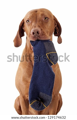 pure breed golden color hunting dog holding socks in mouth isolated on white background - stock photo