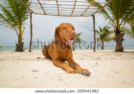 pure breed golden dog laying on tropical beach - stock photo