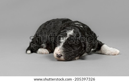 Pure breed Spanish Water dog new born puppy poses in a gray background - stock photo