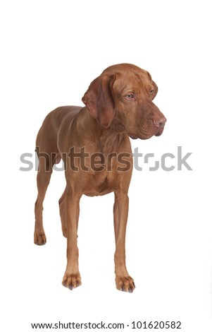pure breed vizsla dog standing on white background