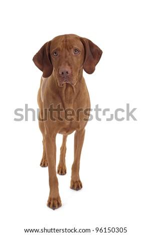 pure breed vizsla dog walking towards the camera on white background - stock photo