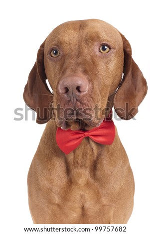 pure breed vizsla dog with bow tie on white background - stock photo