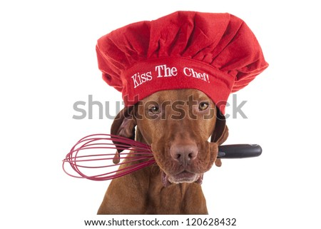 pure breed vizsla dog with red Christmas chef hat holding an egg beater in mouth - stock photo