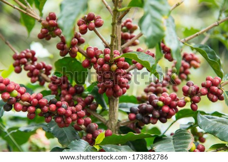 Pure red bunch of coffee seeds