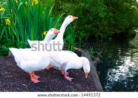 Pure White Geese With orange Beak Looking for Food - stock photo