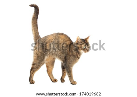 Purebred Abyssinian cat on a white background - stock photo