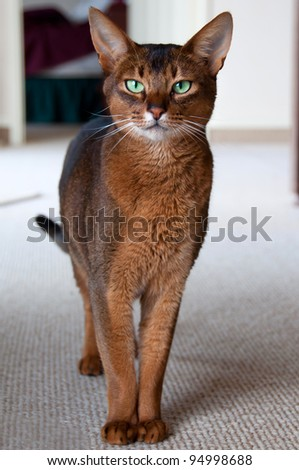Purebred Abyssinian cat with green eyes - stock photo