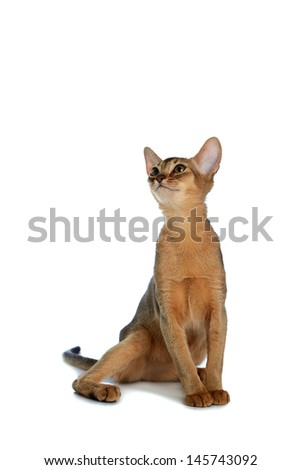 Purebred abyssinian young cat isolated on white background - stock photo