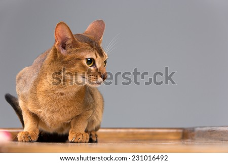 Purebred abyssinian young cat portrait on  gray background - stock photo