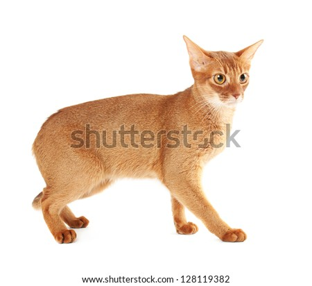 Purebred abyssinian young  scared cat isolated on white - stock photo