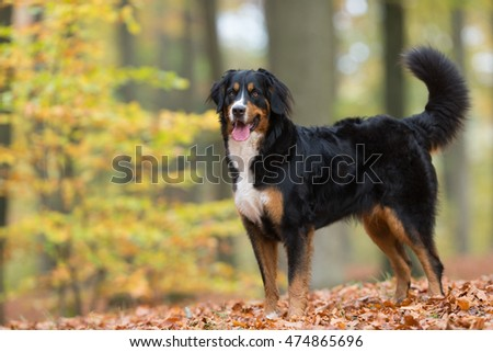 Purebred adult Bernese Mountain Dog outdoors in the forest on a cloudy day during autumn.