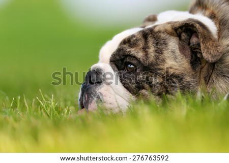 Purebred adult bulldog photographed outdoors on a sunny summer day. - stock photo
