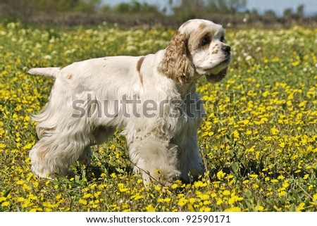 purebred american cocker upright in a field with yellow flowers - stock photo