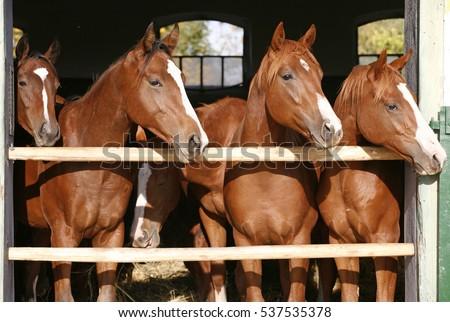 Purebred Angloarabian Chestnut Horses Standing Barn Stock Photo