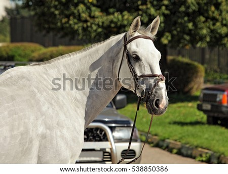 Purebred Arabian Horse, portrait of a white stallion with bridle