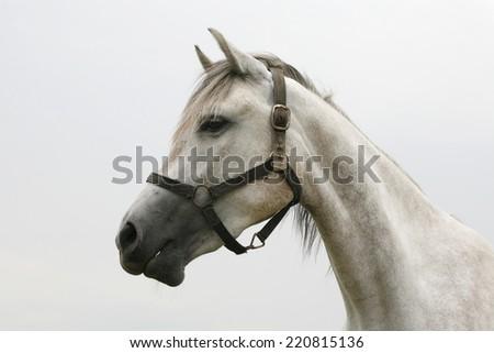 Purebred arabian horse posing on pasture. Portrait of a beautiful arabian gray horse. Head shot of a beautiful arabian racing horse - stock photo