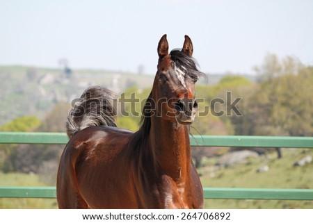 Purebred arabian stallion - stock photo