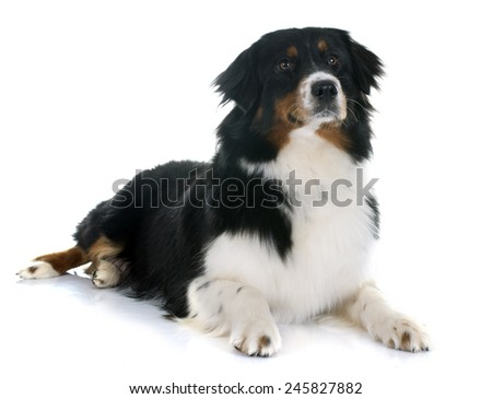 purebred australian shepherd  in front of white background