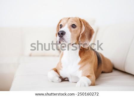 Purebred beagle dog lying on white sofa in luxury Hotel room - stock photo