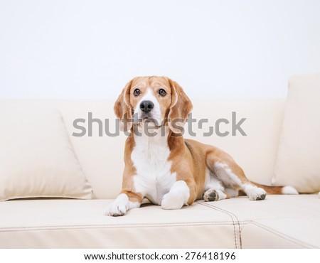Purebred beagle lying on sofa - stock photo