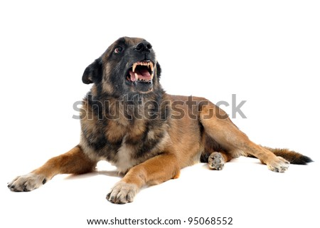 purebred belgian sheepdog malinois angry in front of white background - stock photo