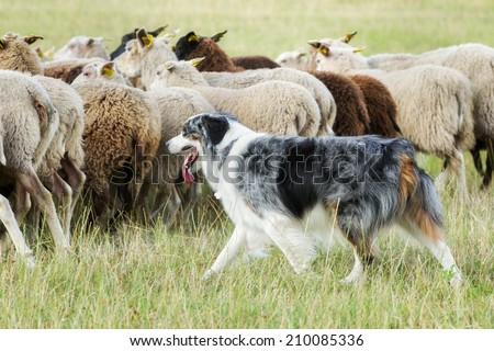 Purebred border collie herding a flock of sheep on a summer day. - stock photo