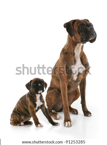 Purebred Brindle Boxer Adult and Puppy Dogs Side by Side - stock photo