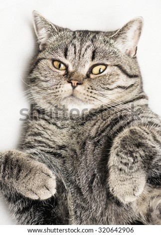 Purebred british shorthair cat lying down, looking at camera. - stock photo