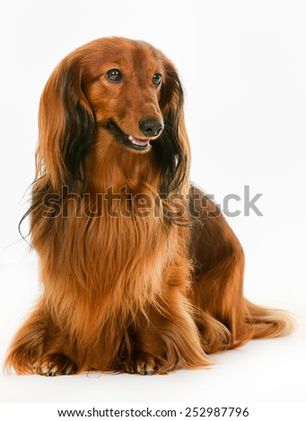 Purebred brown longhaired dachshund dog isolated on white background in studio. - stock photo