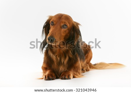 Purebred brown longhaired dachshund dog isolated on white background in studio.