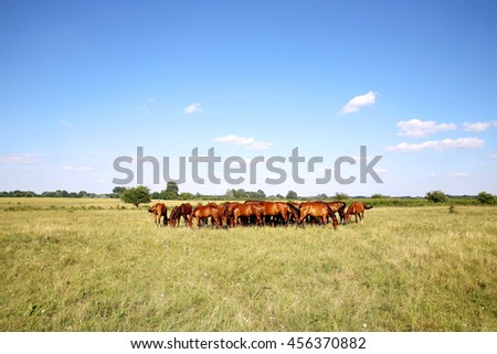 Purebred chestnut foals and mares eating green grass on the meadow summertime rural scene  - stock photo
