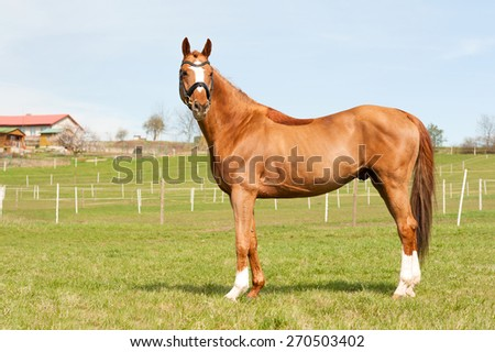 Purebred chestnut standing on pasturage stallion. Exterior image with side view.. Summertime outdoors. - stock photo