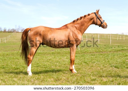 Purebred chestnut standing stallion. Exterior image with side view.. Summertime outdoors. - stock photo