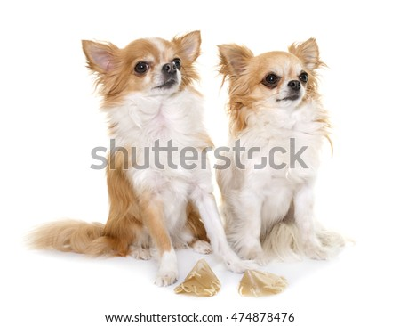 purebred chihuahua and treats in front of white background